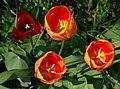 Tulipes FR 2010.jpg