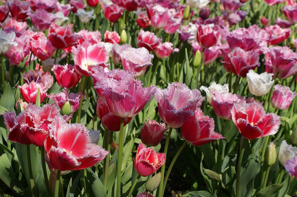 Venir à Amsterdam au printemps pour les belles tulipes. Photos de Randi Hausken