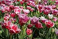 Tulips 1 (7136973281).jpg