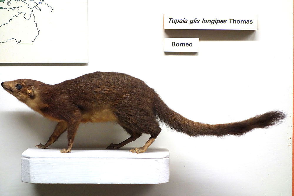 The average litter size of a Long-footed treeshrew is 1