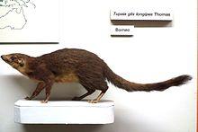 Tupaia (genus)