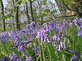 Tupton Wood Bluebells - geograph.org.uk - 298597.jpg