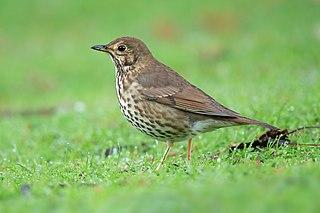Song thrush Species of bird