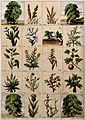Twenty trees, herbs and shrubs of the bible. Chromolithograp Wellcome V0044742.jpg