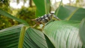 File:Two-Horned Chameleon.webm