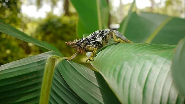 File:Two-Horned Chameleon.webm