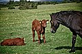 Two calves and a horse.jpg
