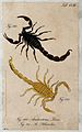 Two scorpions; Androctonus thoas and Androctonus sthenelus. Wellcome V0022414EL.jpg