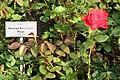 Uetersum rosarium konradadenauerrose.JPG