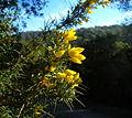 Ulex parviflorus a Collserola.jpg
