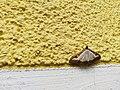 Unidentified-butterfly-20190610-145410.jpg