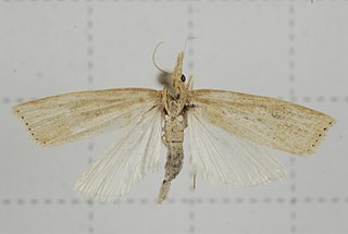 <i>Chilo suppressalis</i> species of insect