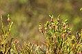 Vaccinium myrtillus flowering.jpg