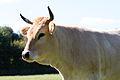 Vache nantaise, Écomusée du pays de Rennes, France.jpg