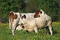 Vaches allée Pré Brus St Cyr Menthon 6.jpg