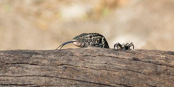 Nile monitor (Varanus niloticus), Chobe National Park, Botswana.