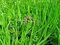 Verge flowers 10.JPG