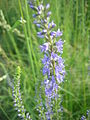 Veronica longifolia 2961.JPG