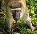 Vervet Monkey, Uganda (21936924585).jpg