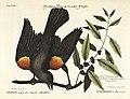 Verzameling van uitlandsche en zeldzaame vogelen (Tab. XXVI) (7894162004).jpg