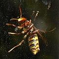 Vespa crabro ventral 03.jpg