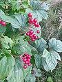 Viburnum opulus 154975569.jpg