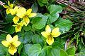 Viola biflora PID1460-1.jpg