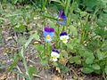 Viola tricolor 01.JPG