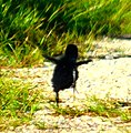 Virginia Rail (Rallus limicola) - newborn chick - running-hopping along (9009140717) (cropped).jpg