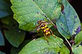 Virginia flower fly (44053743164).jpg