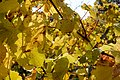 Vitis vinifera Wildbacher Herbstblätter 01.jpg