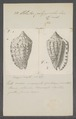 Voluta polyzonalis - - Print - Iconographia Zoologica - Special Collections University of Amsterdam - UBAINV0274 087 04 0025.tif