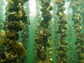 Vue sous marine de Tables Ostréicoles de l'étang de Thau.jpg