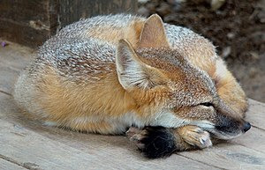 English: A Swift Fox napping in a zoo