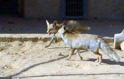 Lišky v zajetí
