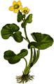 WWB-0037-013-Caltha palustris-crop.png