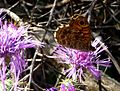 Wall brown. u-s. Lasiommata megera - Flickr - gailhampshire (1).jpg