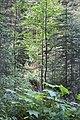 Wapta Falls Trail IMG 4930.JPG