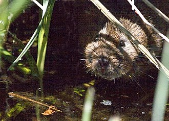 Nind Nature Reserve - Image: Water Vole at The Mayfly geograph.org.uk 468712