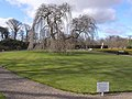 Weeping ash, Seaton Delaval Hall - geograph.org.uk - 1778030.jpg