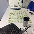 Weight loss experiments with Arabidopsis thaliana leaves.jpg