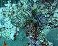 Well camouflaged Scorpion Fish.JPG