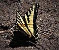 Western Tiger Swallowtail (Papilio rutulus) 1.jpg