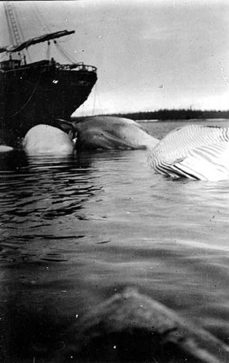 Admiralty Island - Whales tied to moorings at the Tyee Company whaling station, photo by John Nathan Cobb