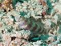 Wheeler's shrimpgoby (Amblyeleotris wheeleri) (46386884314).jpg