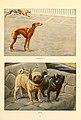 Whippets, Pugs.jpg