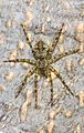 White-banded Fishing Spider - Dolomedes albineus, Meadowood Farm SRMA, Mason Neck, Virginia.jpg