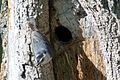 White-breasted Nuthatch (nesting) -NMP 6-11-12 1 bis.jpg