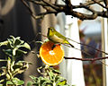 White-eye comes to half-cut Orange (342284895).jpg