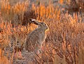 White-tailed Jackrabbit on Seedskadee National Wildlife Refuge (21373726724).jpg